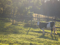 Cow in morning mist Stock Image
