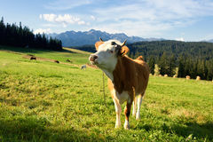 Cow in mountain Stock Photo