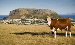 Tasmania. A cow grazes on a hilside of quaint Stanley, Tasmania, with local attraction The Nut looming above stock photos