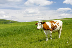 Cow in mountain Royalty Free Stock Photo