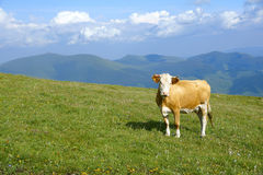 Cow and mountain Royalty Free Stock Photos