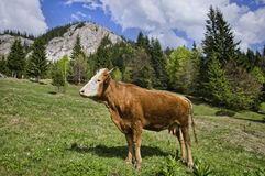 Cow on mountain Stock Photo