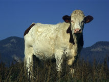 Cow in the mountain Stock Photos