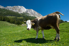 Cow on mountain royalty free stock image