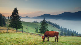 Cow on the mountain Royalty Free Stock Image