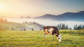 Cow on the mountain Royalty Free Stock Images