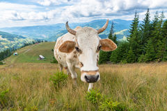 Farm cow on mountain. Farm cow grazing on Carpatian mountain stock photos