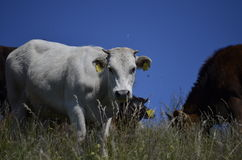 Cow in mountain. Italy stock photos