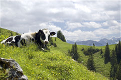 Cow In A Mountain Landscape. A black and white Holstein cow lying in the grass amongst summer flowers with mountains and a cloudy sky in the background Stock Photo