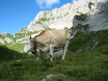 Cow in a mountain landscape. Alpine landscape with rocky slopes, meadows, and a cow Royalty Free Stock Images