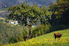 Cow in Mountain Meadow Stock Photography