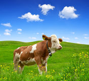 Cow Stock Photos