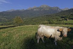 A cow in a mountain meadow Stock Image
