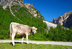 Cow on mountain meadow in Fanes Nature Park Stock Photos