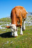 Cow on a mountain meadow Stock Photos