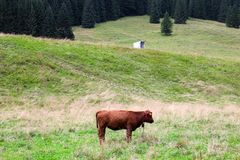 Cow on a mountain meadow, and pine in the background.  royalty free stock image