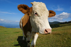Cow at mountain pasture Royalty Free Stock Images