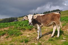 Cow on a mountain pasture Stock Image