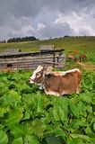 Cow on a mountain pasture Royalty Free Stock Photo