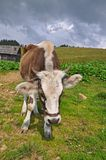 Cow on a mountain pasture Royalty Free Stock Photography