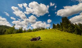 Cow on mountain pasture in the alps Stock Photos