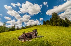 Cow on mountain pasture in the alps Royalty Free Stock Photos