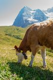 Cow on a mountain pasture on the background of Eiger peak. Grindelwald Bernese Alps Switzerland Europe.  royalty free stock images