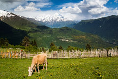 Cow on mountain pasture Stock Photography
