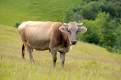 Cow on mountain pasture Royalty Free Stock Photo