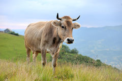 Cow on mountain pasture Stock Image