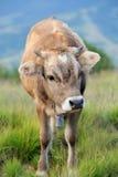 Cow on mountain pasture Stock Image