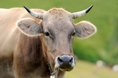 Cow on mountain pasture Royalty Free Stock Photography