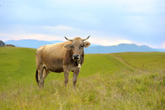 Cow on mountain pasture Royalty Free Stock Image