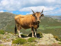 Cow on a mountain pasture in the island of Sardinia is standing on the edge of the rock Royalty Free Stock Photography