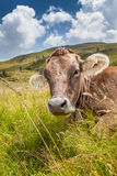 Cow on a mountain pasture Royalty Free Stock Images