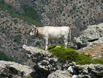 Cow in a mountain pasture Royalty Free Stock Photos
