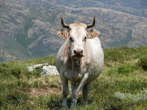 Cow in a mountain pasture Royalty Free Stock Photography