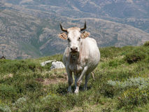 Cow in a mountain pasture Royalty Free Stock Image