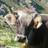 Cow in a mountain pasture Royalty Free Stock Photo