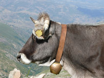 Cow in a mountain pasture Stock Images