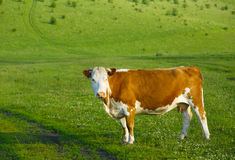 Cow on a mountain pasture Stock Photo