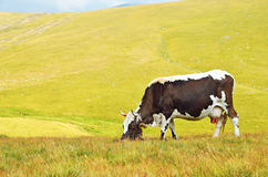 Cow on mountain pasture Stock Photos