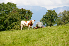 Cow in the mountain pastures Stock Photo