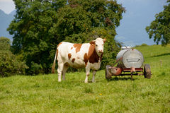 Cow in the mountain pastures Stock Images