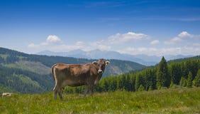 Cow on mountain road. Healthy milk cow on mountain pasture Stock Photo