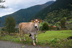 Cow in a mountain village Stock Images
