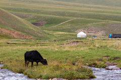Cow Mountain yurt Royalty Free Stock Photography