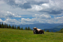 Cow in mountains. Cow grazing in mountains, summer landscape royalty free stock images