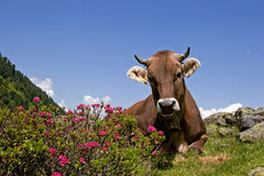 Cow in mountains Stock Images