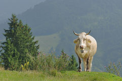 Cow on mountains Royalty Free Stock Images